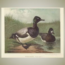 Broadbills, Ducks. Chromo Lithograph ca. 1910. Matted