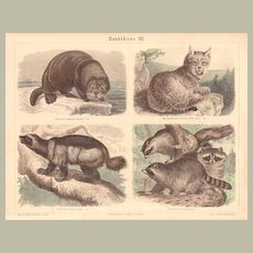 Beasts - Predators: Antique, tinted Etching from 1880