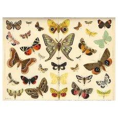 Butterflies. Decorative Chromolithograph, 12 x 9, 1902