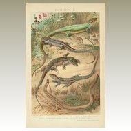 Saurian. Very decorative old Chromolithograph, 1898