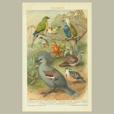 Pigeons. Very decorative old Chromolithograph, 1898