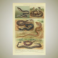 Poisonous Snakes. Chromo Lithograph from 1899