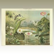 1898: Lotus and Water Lilies. Old Chromolithograph