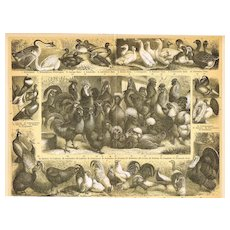 Poultry: Lithograph from 1898