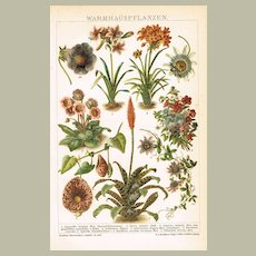 Hothouse Plants Chromo Lithograph from 1898