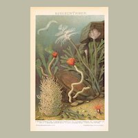 Worms: Antique Chromo Lithograph from 1900
