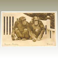 1934: Nuremberg Zoo: Photo Postcard 2 Chimpanzees