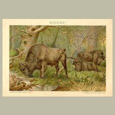 1907: Bison. Decorative Chromo Lithograph. European.