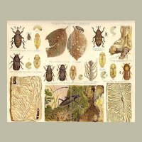 1898: Destroyers of Wood. 2 Decorative Chromo lithographs of Insects Beetles.