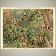 Araceae. Old Chromo Lithograph from 1898.