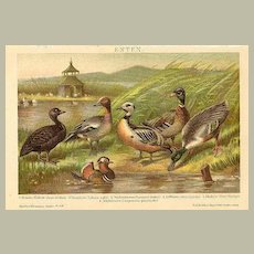 Ducks. Colourful Graphic from 1901