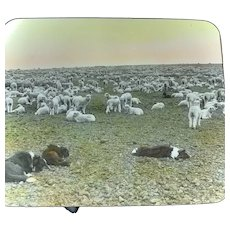 Antique Magic Lantern Glass Slide Border Collie Dogs With Sheep