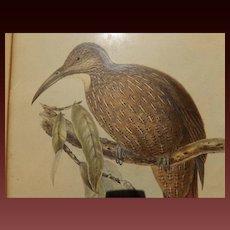 Antique Bird Print - Hullmandel & Walton handcolored lithograph Dendrocolaptes