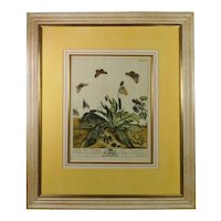 Moses Harris The Aurelian 18th Century Hand Colored Butterfly Engraving English Circa 1766 pl XVI, Modern Frame
