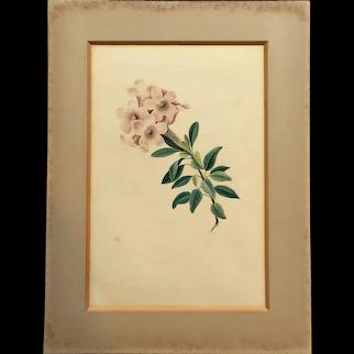 Original 19th Century Regency Watercolor Rhododendron, Botanical Painting, English C 1819