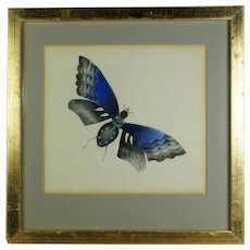 Mid 19th Century Watercolor Painting, Blue Butterfly C 1850