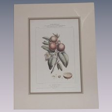 Mid Century Botanical Nutmeg Very Good Reproduction of 19th Century Piece