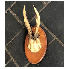 Mounted Roe Deer Antlers on Oak Plaque