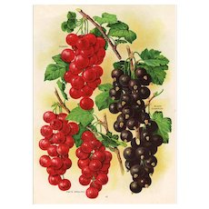 Gooseberries Fruit Seed Catalog Print