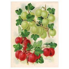 Gooseberries Grapes Fruit Seed Catalog Print