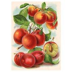 Peaches Fruit Seed Catalog Print