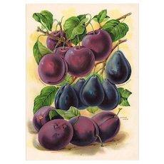 Plums Fruit Seed Catalog Print
