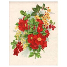 Japan Quince Seed Catalog Print