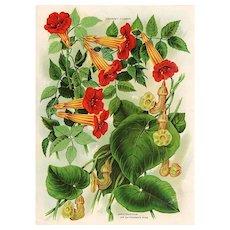 Trumpet Flower Seed Catalog Print