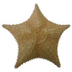 """Giant Real Ocean Starfish 10"""" diameter"""