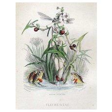 SALE: Grandville French  Engraving 'Fleche-D'Eau' 1867 from Les Fleurs Animees.