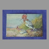 Vintage Hoopoe Postcard from Europe