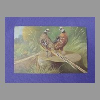 Vintage Pheasant Postcard from Europe