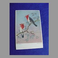 Vintage Gray Cardinal Postcard