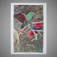Antique Eclectus Parrot Pair Litho