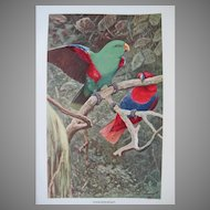Antique Eclectus Parrot Pair Litho