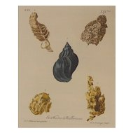 Antique Watercolored Engraving of Shells - Circa 1720 - 1760