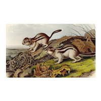 John James Audubon - Original Lithograph - Jay's Marmot Squirrel