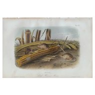 John J. Audubon-Little Harvest Mouse