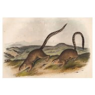 John J. Audubon-Annulated Marmot Squirrel
