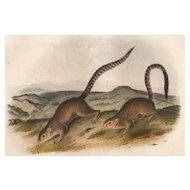 John J. Audubon-Annulated Marmot Squirrel