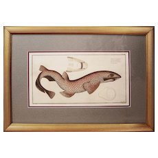 Original Antique Engraving of Shark by Bloch, circa 1785 - 1797