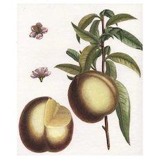 """""""Pavie de Pomponne"""", Botanical by Claude Aubriet (Fr: 1665-1742)"""