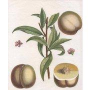 """""""Bourdin"""", Botanical by Claude Aubriet (Fr: 1665-1742)"""
