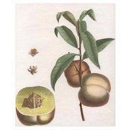 """Admirable"", Botanical Illustration by Claude Aubriet (Fr: 1665-1742)"