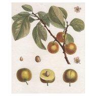 """""""Damas d'Italie"""", Botanical Illustration by Claude Aubriet (Fr: 1665-1742)"""