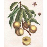 """""""Peche-Cerise"""", Botanical Illustration by Claude Aubriet (Fr: 1665-1742)"""
