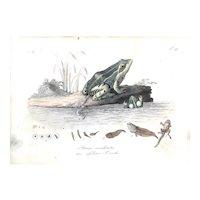 Rana Esculenta der Essbare Frosch-Antique Engraving