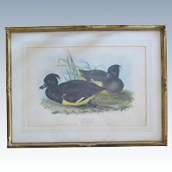 Antique John Gould Hand Colored Lithograph Tufted Duck from Birds of Europe 1832-1837