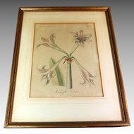 Botanical Engraving Hand Colored Amaryllis Vittata  19th Century German Plate 1805