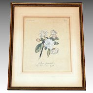 Antique Botanical Engraving Hand Colored  19th Century Pyrus Spectabilis German 1808